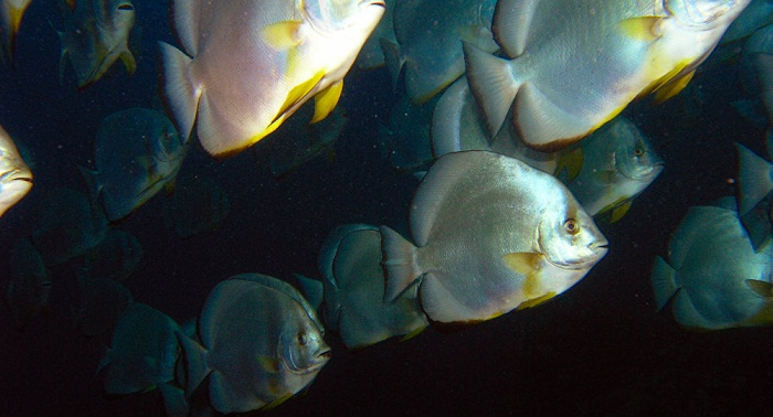 Ces poissons «chantent en chœur» comme des oiseaux