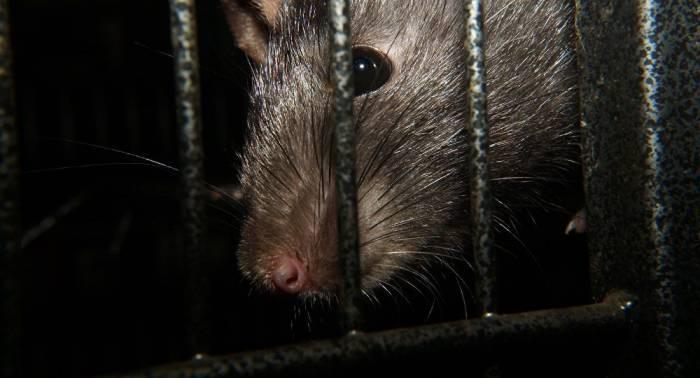Les principaux vecteurs de la peste découverts, et ce ne sont pas les rats