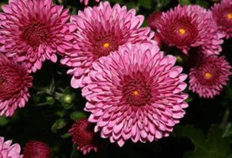 Netherlands grows new species of chrysanthemum named Azeri