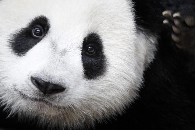 Allemagne:  les deux pandas du zoo de Berlin baptisés de noms traditionnels chinois