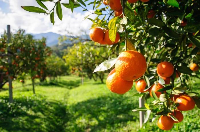 Meyvəçiliyin inkişafına dair dövlət proqramı təsdiqləndi