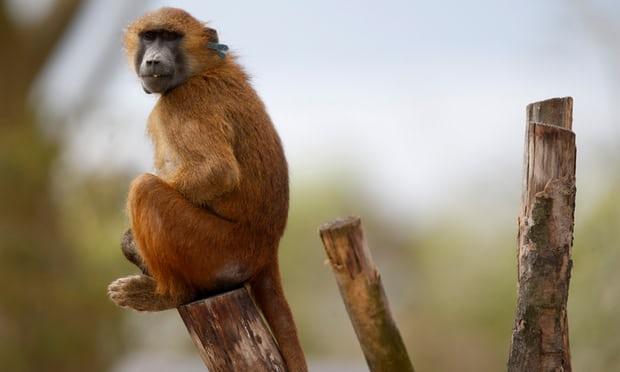 Paris zoo shut after 50 baboons escape