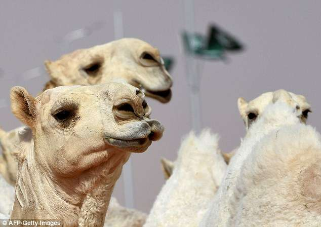 Twelve camels are disqualified from Saudi Arabian beauty contest for using BOTOX