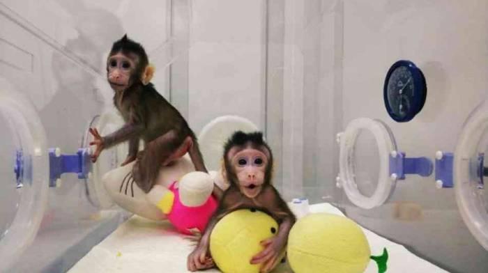 Bundesdeutscher Tierschutzbund kritisiert Klonen von Affen