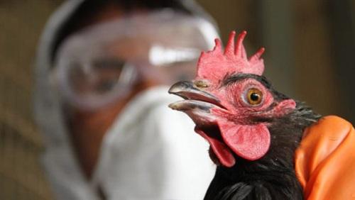 سلبية عينات 9 حالات اشتباه بإنفلونزا الطيور والموسمية في الشرقية