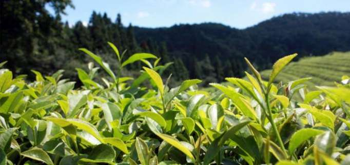 Azerbaijan eyes to increase tea harvesting by almost 11 times by 2027