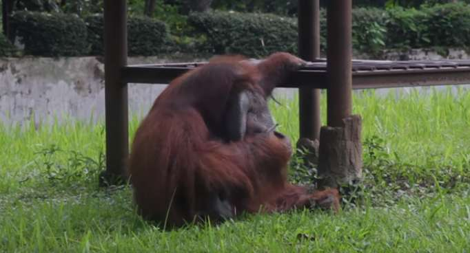 Video of orangutan smoking at zoo sparks outrage