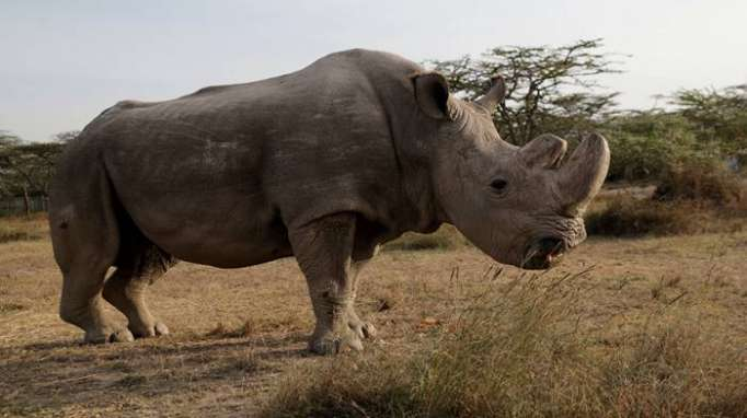 Northern White Rhino doomed to extinction after last male dies in Kenya