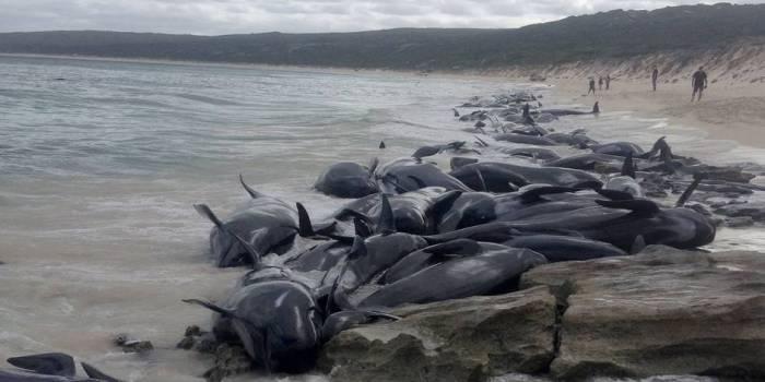 Australie:135 dauphins-pilotes meurent échoués