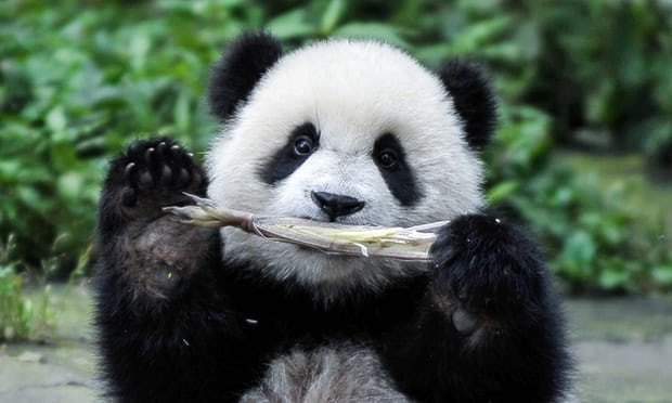Chinese bank to fund giant panda conservation park