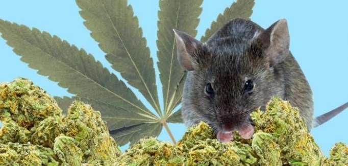 Polizei vermisst 500 Kilo Cannabis - Mäuse sollen schuld sein