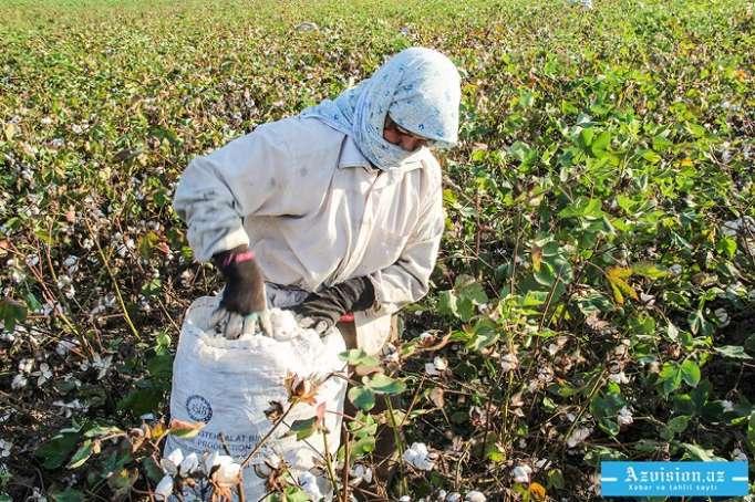 Nazirlik pambıq istehsalçılarına müraciət edib