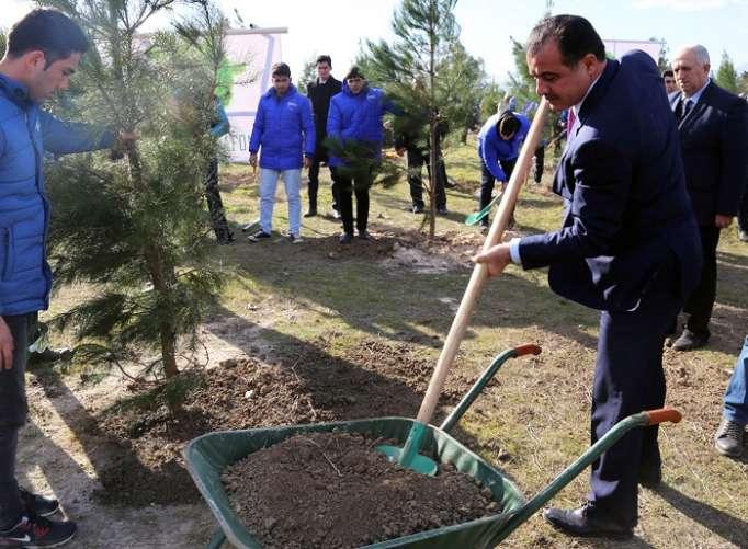 Gəncədə 10 min şam ağacı əkilib