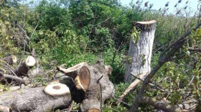Bakı-Quba yolunda 12 qoz ağacı kəsilib