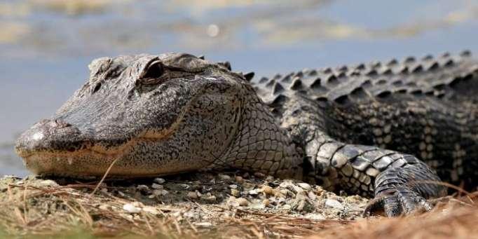 Une fillette de 11 ans affronte un crocodile à mains nues pour sauver son amie