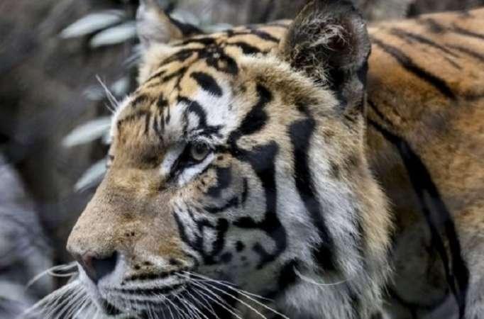 Un chef de gang arrêté avec son tigre au Mexique