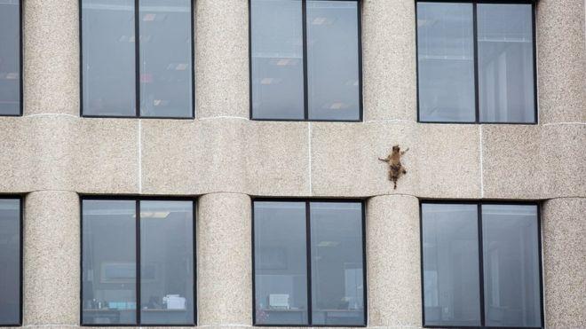 Raccoon hailed a hero after Minnesota skyscraper climb