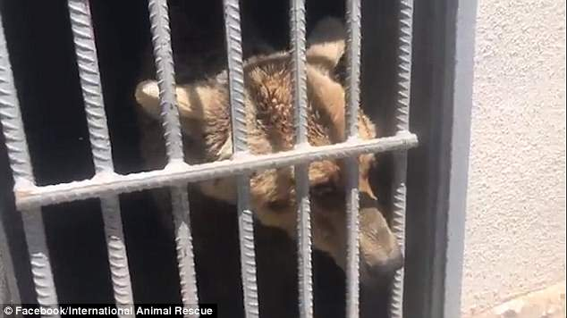 Moment abused bear feels sunshine for the first time in years in Armenia - VIDEO