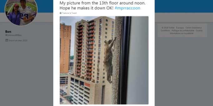 États-Unis : quand un raton-laveur escalade un immeuble de 23 étages et émeut Internet