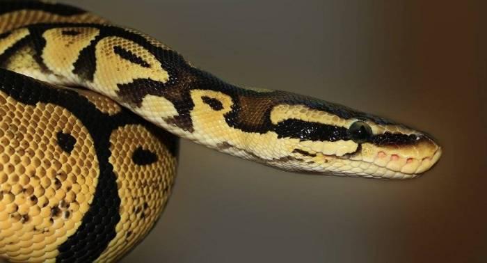 Une femme a essayé de quitter les USA avec un python emballé dans ses bas - IMAGES