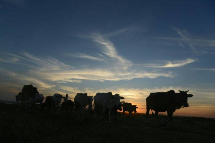 Inde: un musulman convoyant des vaches tué dans l