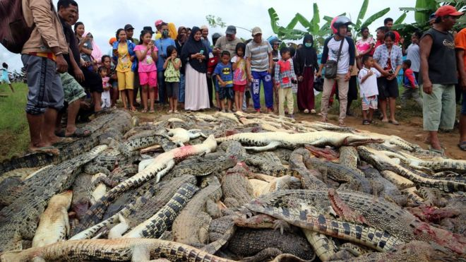 Indonesian mob slaughters nearly 300 crocodiles in revenge killing