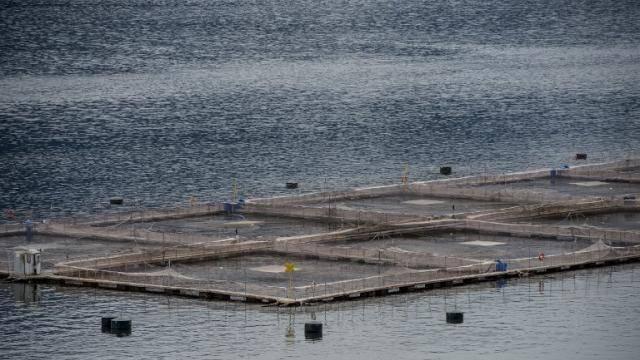 Chili : crainte de crise environnementale après la fuite de 690.000 saumons traités aux antibiotiques