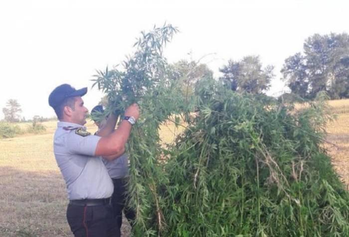 78 tondan çox narkotik məhv edilib