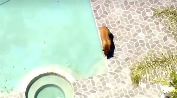 بالفيديو: هرباً من حرارة الجو.. دب بري يلجأ لحوض سباحة بمنزل في لوس أنجليس