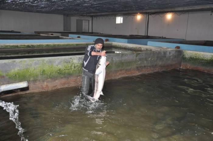 Balıqartırma zavodu yenidən qurulur