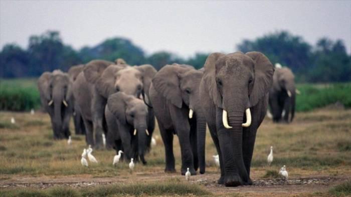 """Los elefantes son inmunes al cáncer por tener un gen """"zombie"""""""