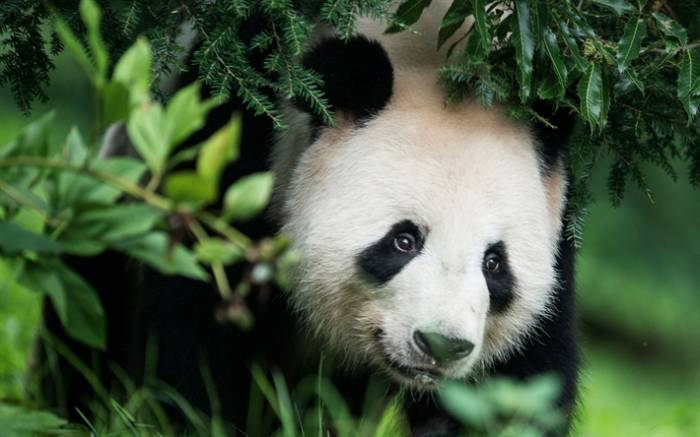 La population de pandas géants augmente en Chine