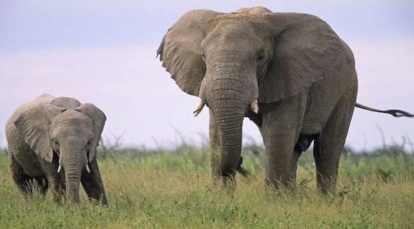 مورث نادر لدى الفيلة قد يكون العلاج المخلص من السرطان