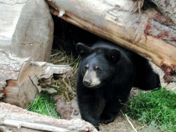 Canada : un ours noir sème la pagaille dans le centre d
