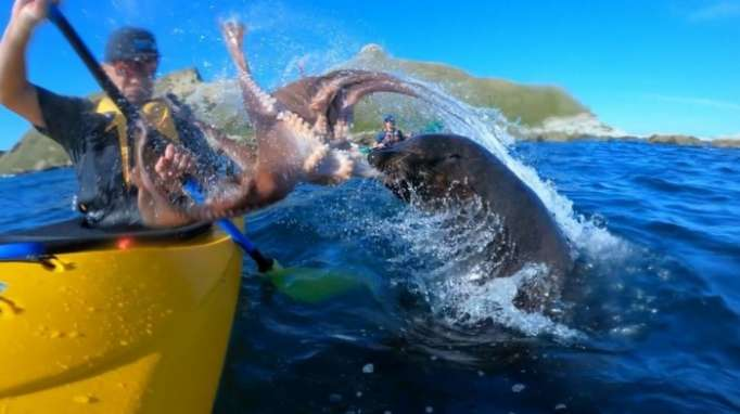 Seal slaps kayaker in the face with an octopus – NO COMMENT