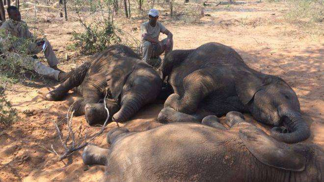 Près de 100 éléphants ont été massacrés pour leur ivoire au Botswana