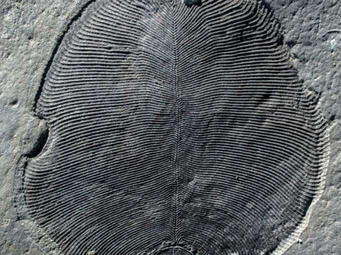 Le plus ancien animal était plat, ovale et date de 558 millions d