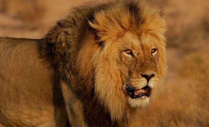 Les Etats-Unis autorisent un chasseur à importer son trophée de lion tué en Tanzanie