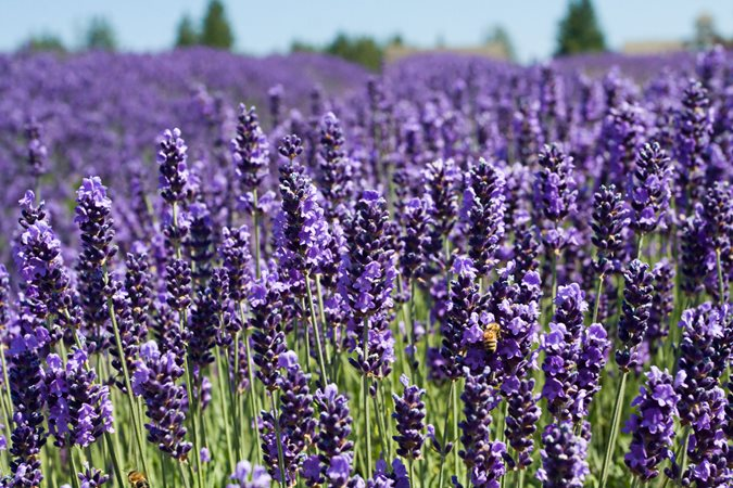 The smell of lavender is relaxing, science confirms