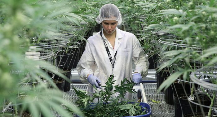 Canadá legaliza la marihuana recreativa