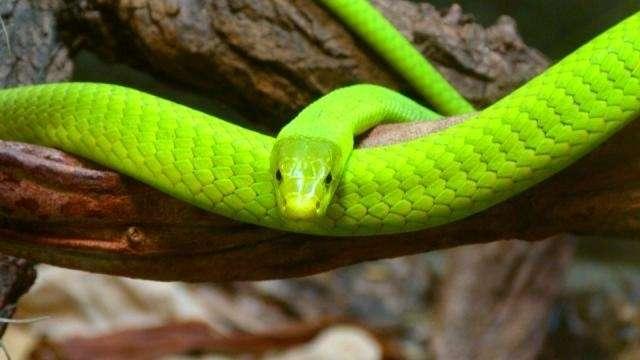 Prague: un serpent venimeux s