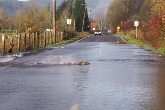 Video captures salmon swimming across a road in Washington