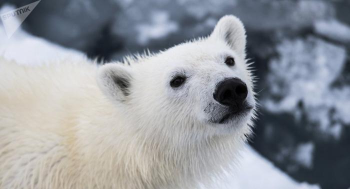 Científicos constatan el buen estado de los osos polares de Chukotka