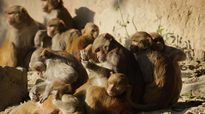 Une femme tuée par des singes en Inde