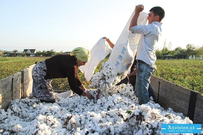 Ölkədə 20 min tona yaxın pambıq yığılıb