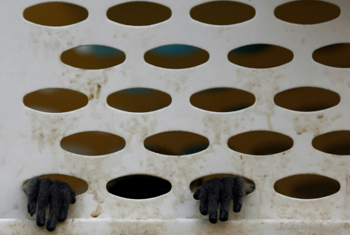 Six men arrested in Vietnam for killing, eating endangered monkey