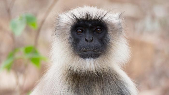 Vietnam: arrêtés pour avoir tué et mangé un singe