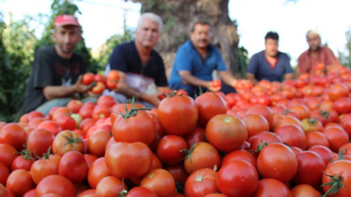 Rusiya Türkiyədən pomidor idxalını artırır