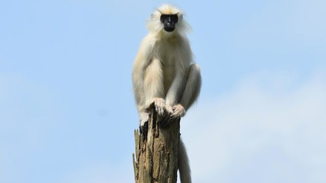 Six arrested for killing, eating endangered langur monkey