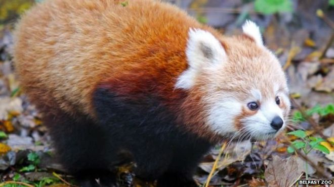 Rare red panda escapes from Belfast Zoo